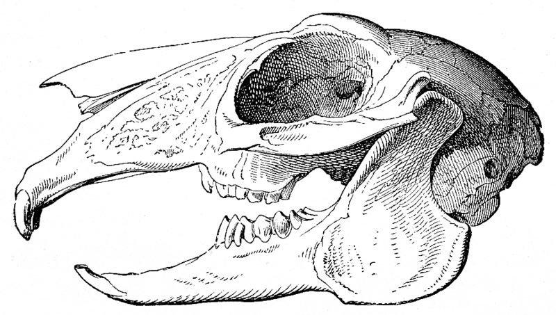Lêer:Skull of a hare.png