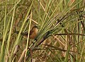 Slender-billed Babbler AMSM1310.jpg