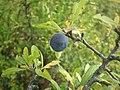 Sloe berry.jpg