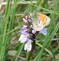 Small Heath Butterfly on Heath Spotted Orchid. - geograph.org.uk - 1279278.jpg
