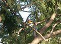 Small Minivet. Pericrocotus cinnamomeus - Flickr - gailhampshire.jpg