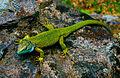 Smaragdeidechse Männchen.jpg