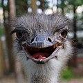Smiling ostrich 鴕鳥笑笑 - panoramio.jpg