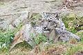 Snow Leopard Hiding (22165019042).jpg