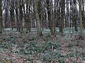 Snowdrops in Hall Wood, Matfen - geograph.org.uk - 1184943.jpg