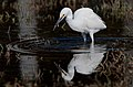 Snowy Egret (Egretta thula) with crabs pincher in its beak as finds Pickleweed (Sarcocornia pacifica) food to eat.jpg