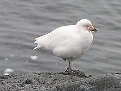 Snowy Sheathbill.jpg