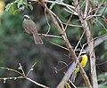 Social Flycatcher (Myiozetetes similis) (7222957882).jpg