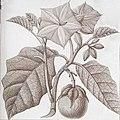 Solanum grandiflorum 1.jpg