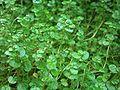 Soleirolia soleirolii002.JPG