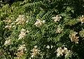 Sorbaria sorbifolia.jpg