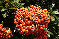 Sorbus aucuparia 03 - Orange.jpg