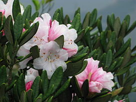 South China Rhododendron on Ma On Shan.JPG