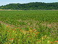 South Morgan County - day lilies and corn - P1080655.jpg
