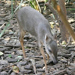Blue duiker - The blue duiker feeds on fallen fruits and foliage.