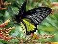 Southern Birdwing (Troides minos).jpg