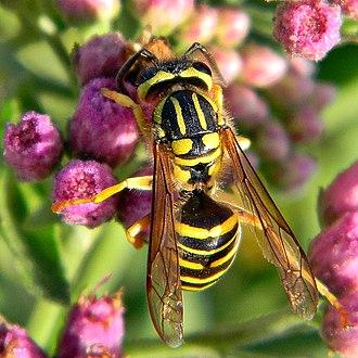 Vespula squamosa - Image: Southern Yellowjacket (Vespula squamosa) (7225863346)