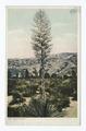 Spanish Bayonet, Arizona (NYPL b12647398-66703).tiff