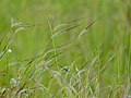 Spear Grass (Heteropogon contortus) (12819089804).jpg