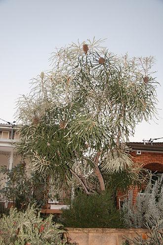 Banksia speciosa - Garden specimen in Sydney (habit), grafted onto B. integrifolia