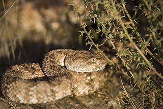 <i>Crotalus mitchellii</i> species of snake