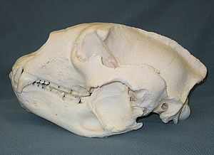 Spectacled bear - Skull