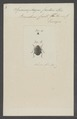 Spermophagus - Print - Iconographia Zoologica - Special Collections University of Amsterdam - UBAINV0274 034 30 0011.tif