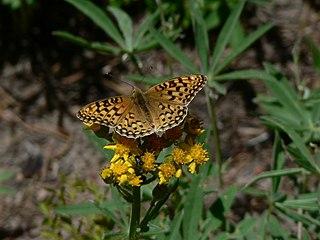 <i>Speyeria zerene</i> species of butterfly