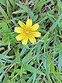 Sphagneticola trilobata ( Asteraceae) 05.jpg