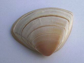 Crassula aequilatera - Image: Spisula aequilatera (triangle shell)