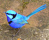 A male splendid fairy-wren (subsp. splendens)