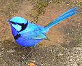 Splendid Fairy-wren male.jpg