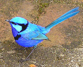 Splendid Fairy-wren male.jpg