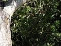 Spotted Tree Monitor (Varanus scalaris) (9334711410).jpg