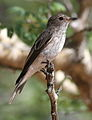 Spotted flycatcher, Muscicapa striata, at Marakele National Park, Limpopo, South Africa (16131763668).jpg