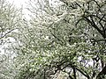 Spring 2008 - Cluj-Napoca (2408330744).jpg