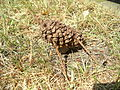 Spruce cone cow on grass.jpg