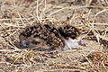 Spur-Winged-Plover-chick.jpg