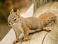 Squirrel (15622534138) (2).jpg