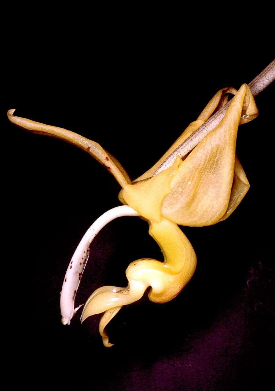 Stanhopea stevensonii Orchi 01