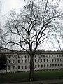 Stark winter tree within Lincoln's Inn - geograph.org.uk - 1653942.jpg