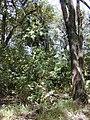 Starr-010425-0072-Livistona chinensis-spreading in understory-Haiku-Maui (24164746689).jpg