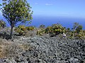 Starr-010714-0007-Bocconia frutescens-Iinfestation in lava dryforest with Kim-Auwahi-Maui (24165214049).jpg