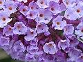 Starr-010717-0044-Buddleja davidii-flowers-Kula-Maui (24237487770).jpg