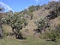 Starr-031111-0061-Bocconia frutescens-habit-Auwahi-Maui (24379889150).jpg