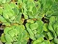 Starr-061108-9786-Pistia stratiotes-in water garden-Hoolawa Farms-Maui (24775260641).jpg