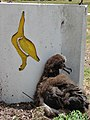 Starr-080531-4747-Heliotropium procumbens-habit and Laysan albatross chick-Midway Mall Sand Island-Midway Atoll (24283798373).jpg