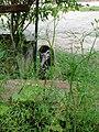 Starr-080608-7442-Anethum graveolens-habit-Water plant Sand Island-Midway Atoll (24288093774).jpg