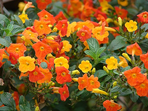 500px starr 090409 5715 streptosolen jamesonii flowers olinda maui (24583627519)