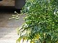 Starr-090421-6298-Melia azedarach-cv Floribunda fruit-Pukalani-Maui (24859115641).jpg